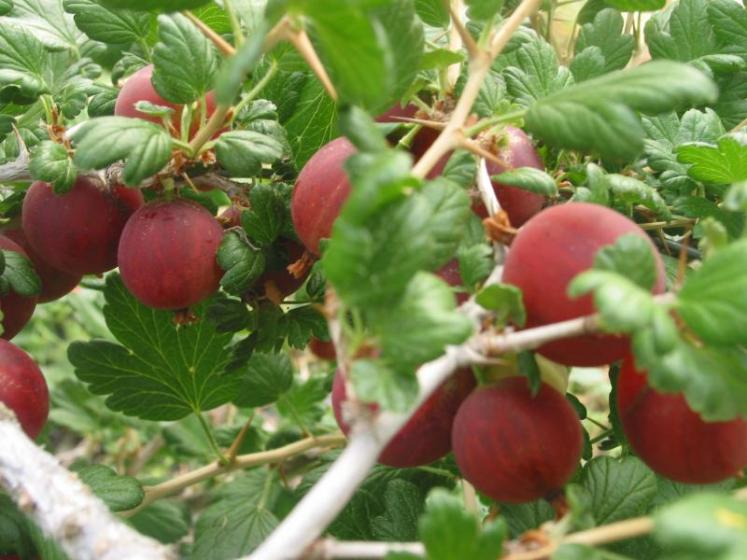 Fruits rouges des Monts du Velay