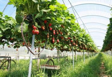 1 million de plants de fraisiers se plantent en ce moment dans la zone de production du GIE.